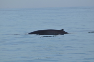 Fin Whale dive