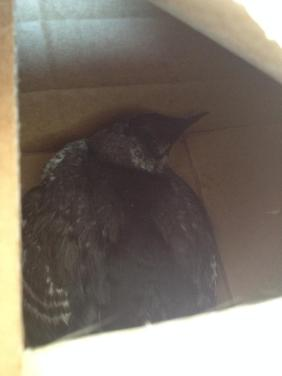 Black Guillemot fledgling